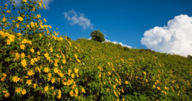 fields-of-mexican-sunflowers-in-mae-hong-son
