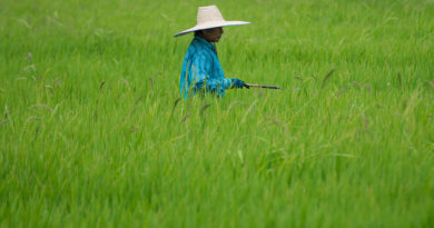 thai-rice-paddy-field
