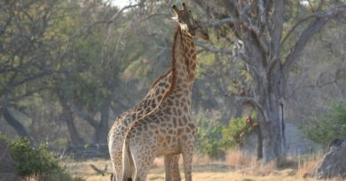 giraff-populations-plungingnew
