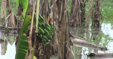 damaged-banana-trees-songkhla