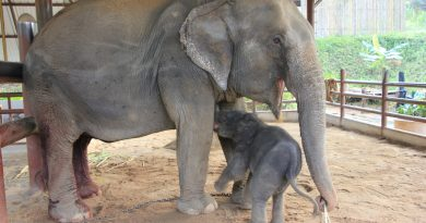 Baby elephant born in Lampang