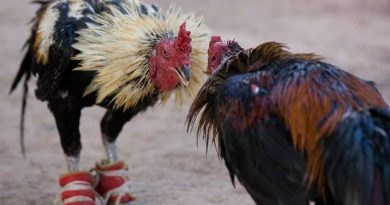 Cock-fighting in Thailand
