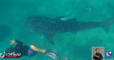 Whale shark in Chumphon,one