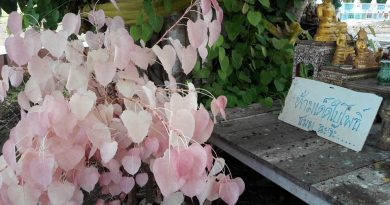 Pink leaved Bodhi tree