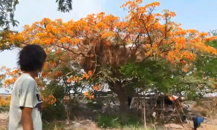 Giant tamarind tree landless Thai farmer lives on