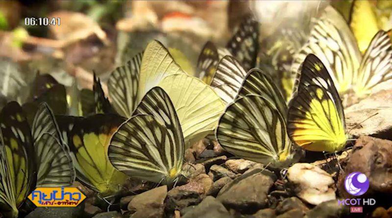 Kaeng Krachan butterflies