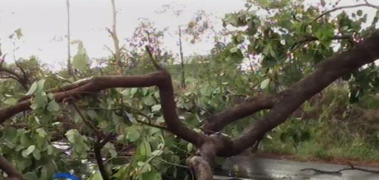 Storm fells tree in Phichit