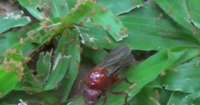 Subterranean ant