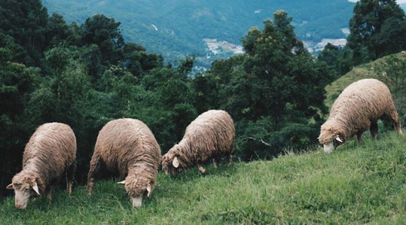 Sheep on Doi Inthanond, resized