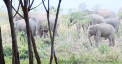 Wild elephants resized