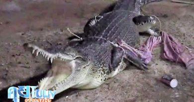 Crocodile captured
