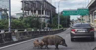 Pigs on expressway