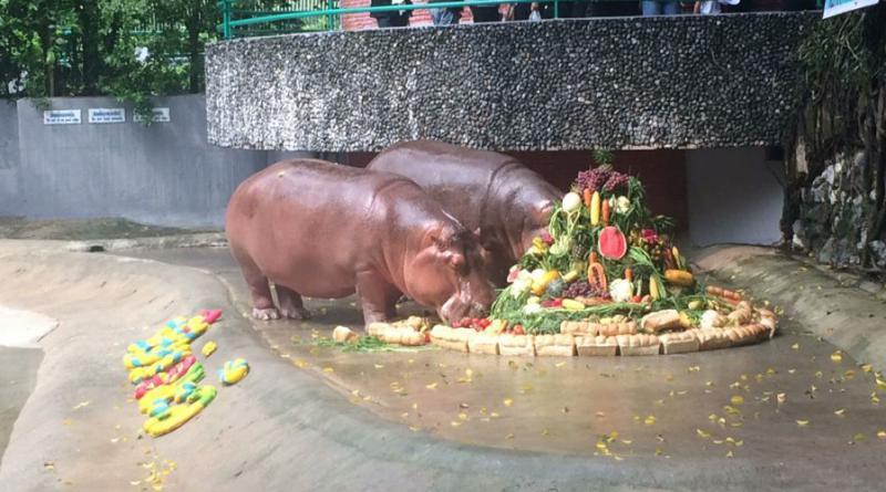 Thai Hippo birthday