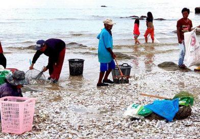 Fish kill occurs again at Hua Hin