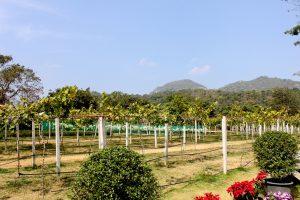 Khao Yai vinyard (1)
