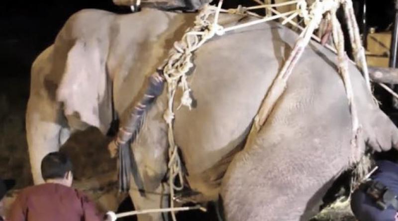 Rescued elephant dies