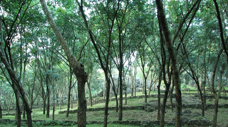 Phuket rubber plantation