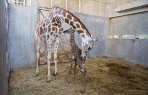 Baby giraffe two