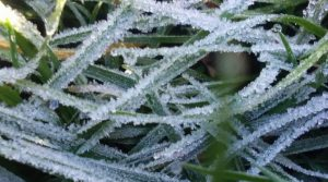 Frost on blades of grass