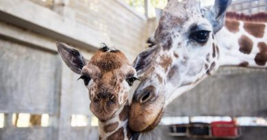 Little New Year baby giraffe