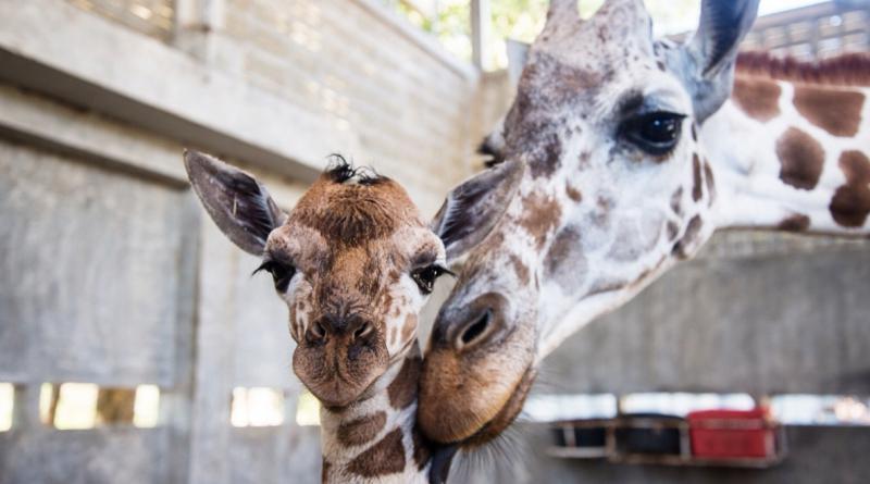 Little New Year baby giraffe