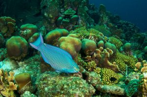 Queen parrotfish eating algae Photo S. Bysshe_0