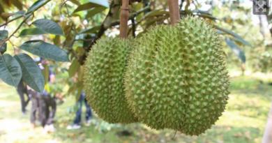 Durian harvest 2018