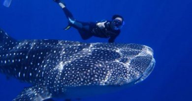 Friendly whale shark Chumphon Thailand
