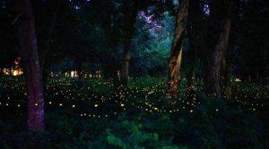 Fireflies at Prachinburi camp