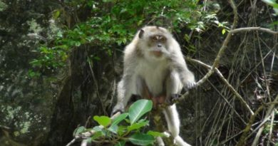 Krabi monkeys