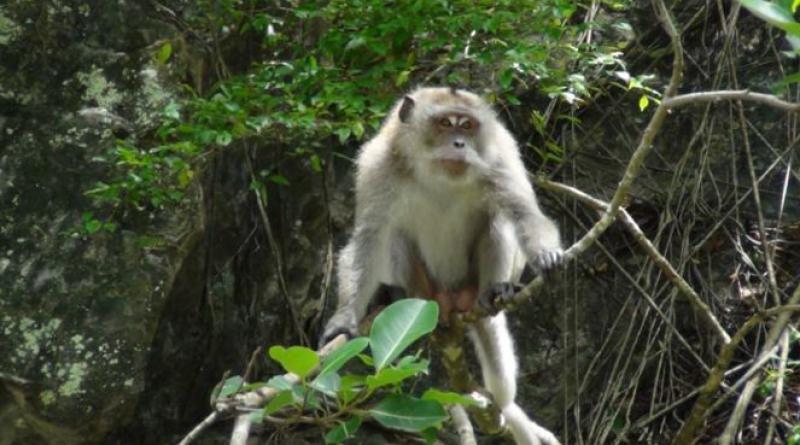 Krabi monkeys