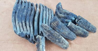 millions years old elephant teeth found