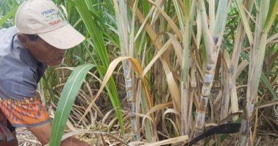 sugarcane farmer
