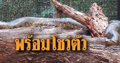 Anaconda at Korat Zoo