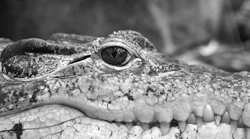 1-crocodile-01