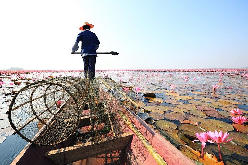 A Fisherman in Thale Bua Dang or Red Lotus Sea at Nong Han Lake, Udon Thani *** Local Caption *** ชาวประมงทะเลบัวแดง ที่หนองหาน จังหวัดอุดรธานี