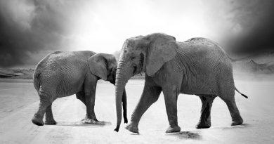elephant-thai