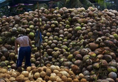Smuggled coconuts hurt Thai farmers
