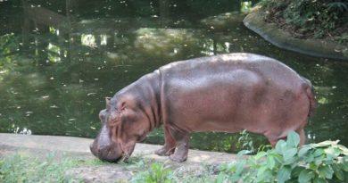 mama mali -hippo