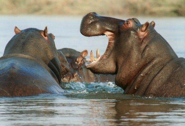 river-horse-hippopotamus-hippo-animal-namibia