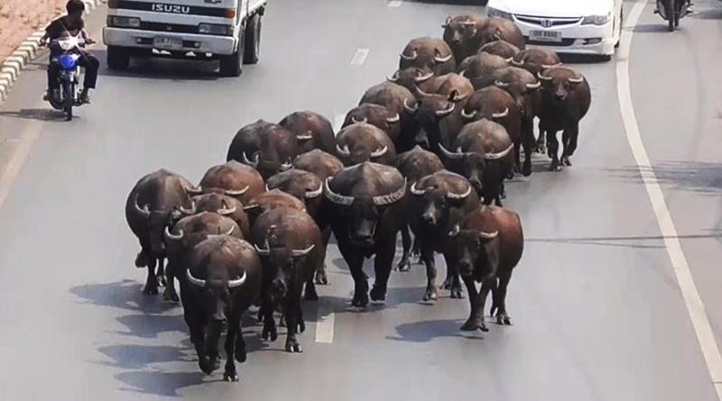 buffallo-angthong
