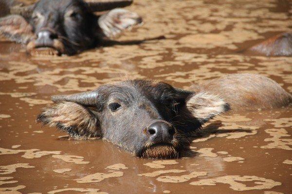 water-buffalo-wasserstier-cow-bull-buffalo-cattle