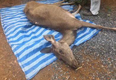 3 kg of plastic bags found in dead deer