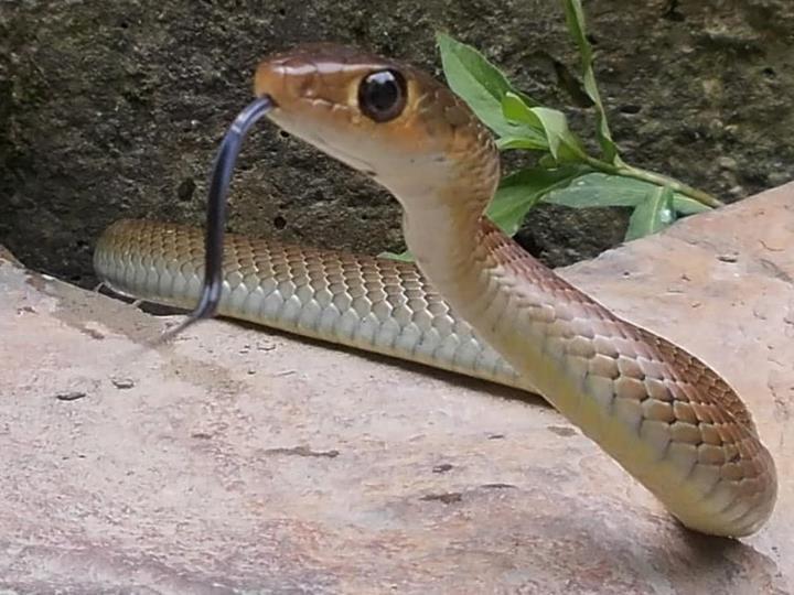 Ptyas_korros-_Indochinese_rat_snake