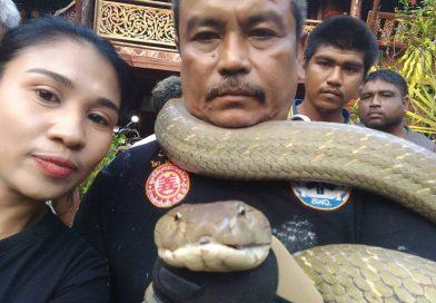 5 meter King Cobra visits grandma and grandpa in Trang Province.