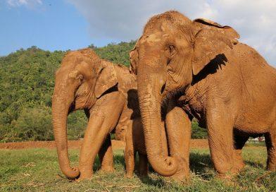 Thai elephants struggle during Covid-19