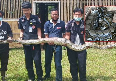 Big Python snake visits Prison Camp in Yala